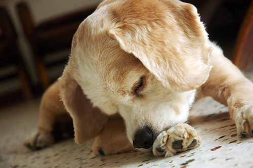 Image for Does Your Dog Lick and Chew Their Paws?