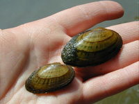 Mussels (Clams) image
