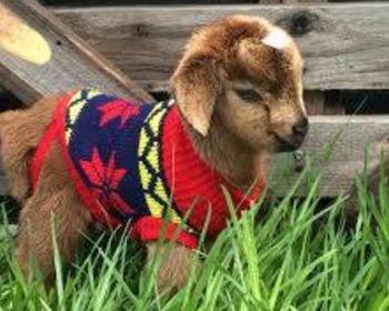 Indoor Goat Yoga
