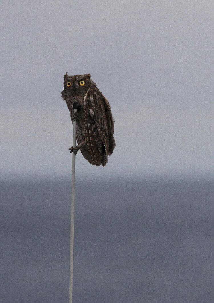 Owl with wide eyes perched on a thin pole