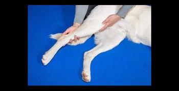 Image for Canine Massage Certification
