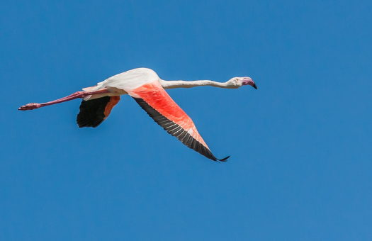 A flamingo in flight against a blue sky, neck, legs, and wings all extended.