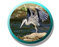 Image of a heron on the water