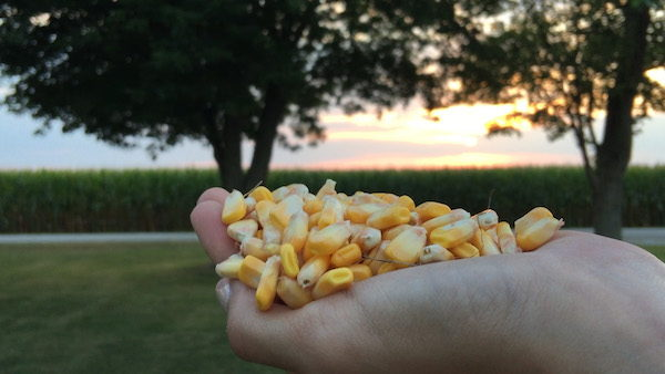 Hand holding corn
