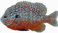 Longear Sunfish image