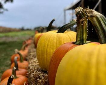 Harvest Adventures Corn Maze and Pumpkin Patch